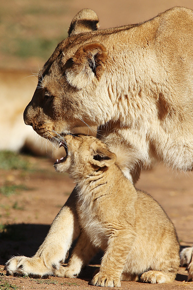 Three Lions「Lion Cubs Debut At Monarto Zoo」:写真・画像(12)[壁紙.com]