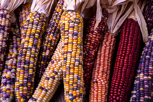 Indian Corn「Colorful Indian corn」:スマホ壁紙(9)