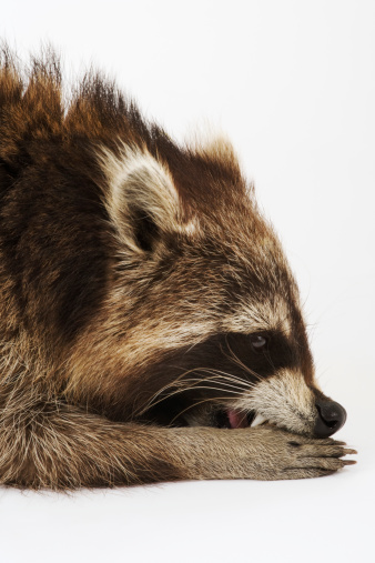 アライグマ「Racoon lying down, side view, close up, studio shot」:スマホ壁紙(9)