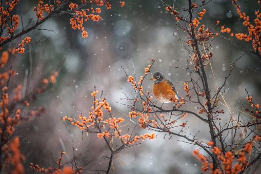 Songbird「American robin」:スマホ壁紙(12)