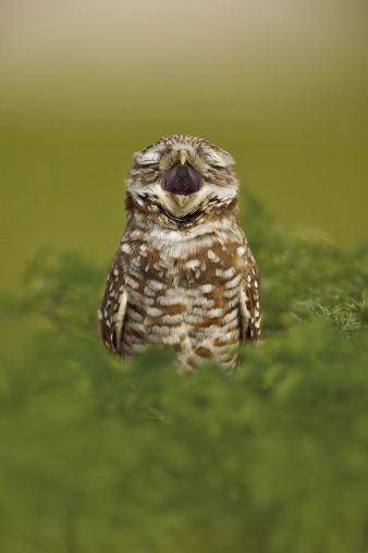 Singer「Burrowing Owl (Athene cunicularia) calling from the entrance of a burrow, Cape Coral, Florida, USA」:スマホ壁紙(6)