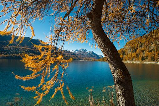 European Larch「Larches autumn 2 Engadine Switzerland」:スマホ壁紙(5)