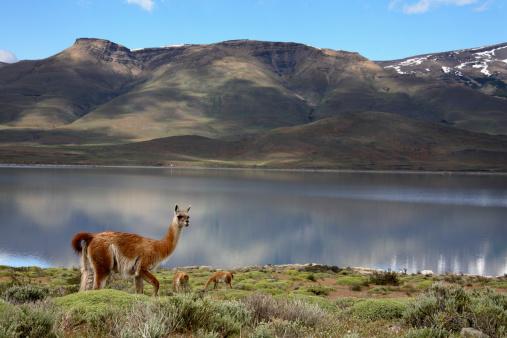 Guanaco「Guanaco at Torres del Paine, Patagonia, Chile」:スマホ壁紙(16)