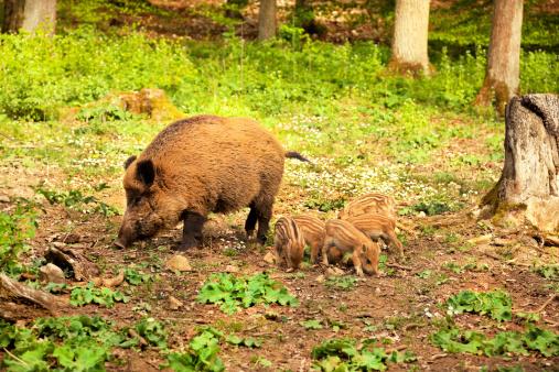 Boar「猪ファミリ」:スマホ壁紙(18)