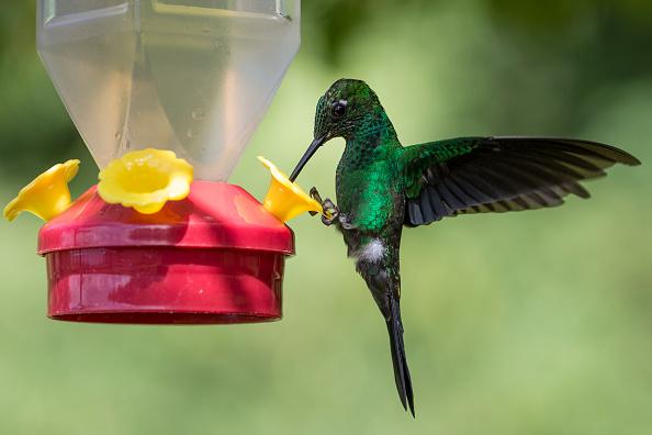 Feeding「Hummingbirds Of Costa Rica」:写真・画像(5)[壁紙.com]