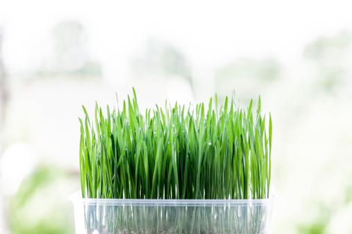 Wheatgrass Juice「Fresh raw green wheat germ on white background.」:スマホ壁紙(13)