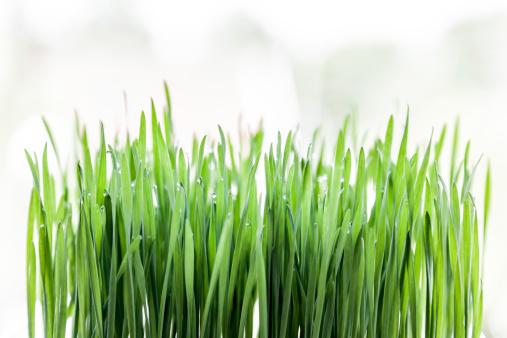 Wheatgrass Juice「Fresh raw green wheat germ on white background.」:スマホ壁紙(9)
