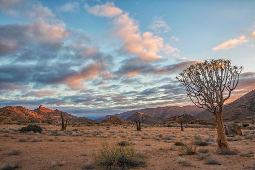 Quiver Tree「Sunrise over Richtersveld National Park, Kookerboom trees dot the landscape」:スマホ壁紙(10)