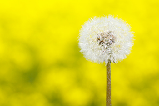 たんぽぽ「Seeds of dandelion, close up, differential focus, copy space」:スマホ壁紙(17)