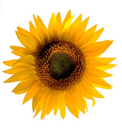 Flower Head「sunflower」:スマホ壁紙(7)