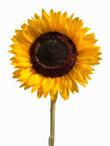 黄色「Sunflower」:スマホ壁紙(15)