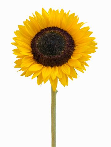 ひまわり「Sunflower」:スマホ壁紙(10)