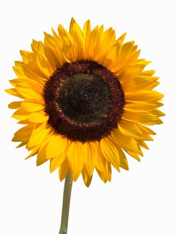 ひまわり「Sunflower」:スマホ壁紙(0)