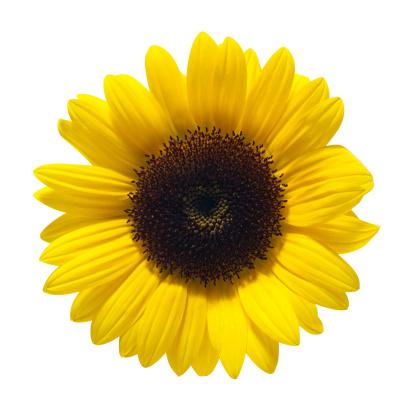 ひまわり「Sunflower」:スマホ壁紙(6)