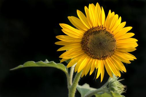 ひまわり「Sunflower」:スマホ壁紙(2)