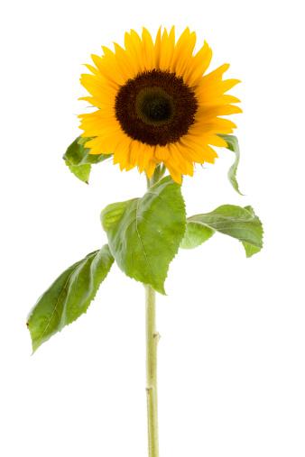 Life Cycle「sunflower」:スマホ壁紙(13)