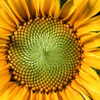 ひまわり「sunflower」:スマホ壁紙(4)