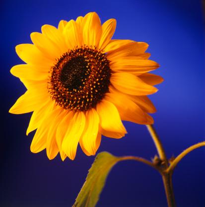 ひまわり「Sunflower, (Close-up)」:スマホ壁紙(4)