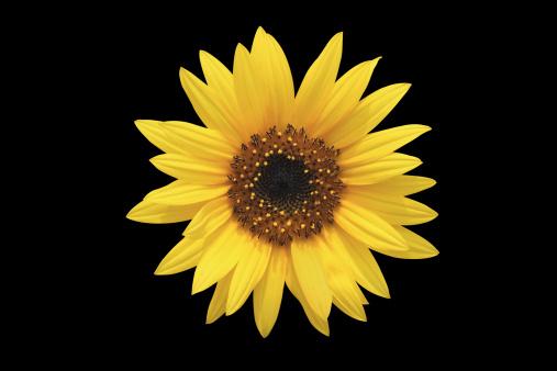 ひまわり「Sunflower」:スマホ壁紙(13)