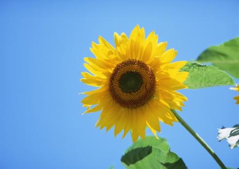 ひまわり「Sunflower 」:スマホ壁紙(3)