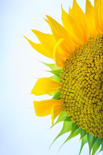 Petal「Sunflower plantation, Cuestahedo, Merindad de Montija, Merindades, Burgos, Castilla y Leon, Spain, Europe」:スマホ壁紙(13)