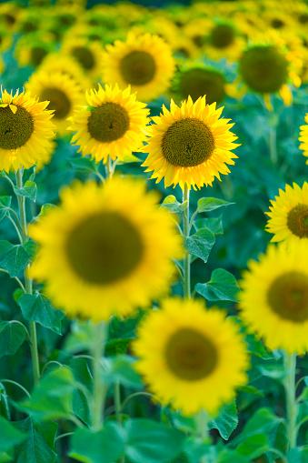 Petal「Sunflower plantation, Cuestahedo, Merindad de Montija, Merindades, Burgos, Castilla y Leon, Spain, Europe」:スマホ壁紙(14)