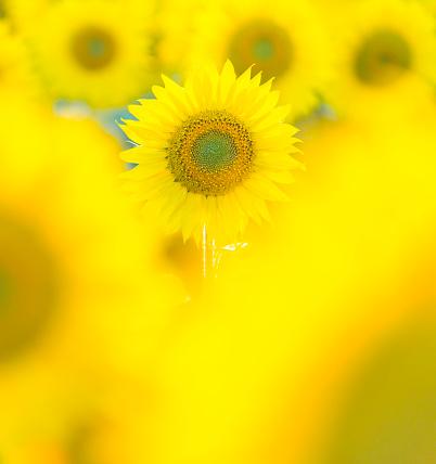 Petal「Sunflower plantation, Cuestahedo, Merindad de Montija, Merindades, Burgos, Castilla y Leon, Spain, Europe」:スマホ壁紙(15)