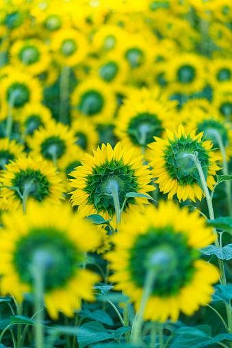 Petal「Sunflower plantation, Cuestahedo, Merindad de Montija, Merindades, Burgos, Castilla y Leon, Spain, Europe」:スマホ壁紙(16)