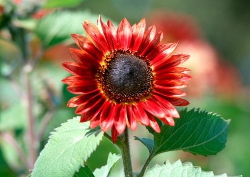 ひまわり「Sunflower」:スマホ壁紙(14)