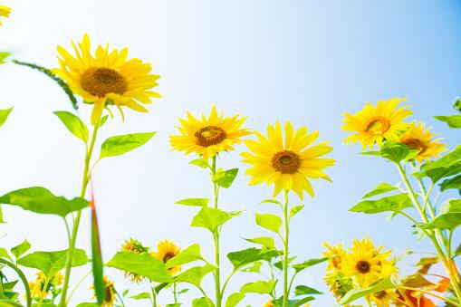 ひまわり「Sunflower」:スマホ壁紙(12)