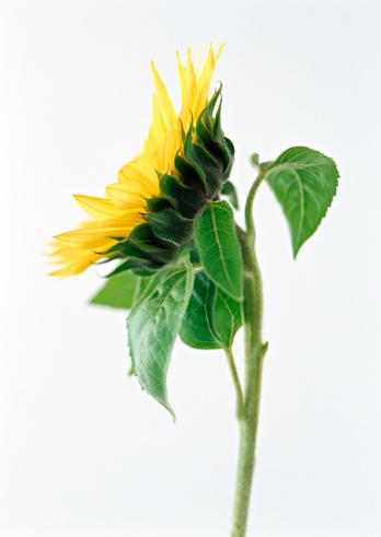 ひまわり「Sunflower」:スマホ壁紙(8)
