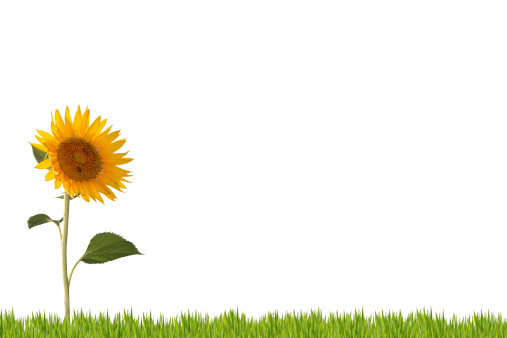 Focus On Background「Sunflower」:スマホ壁紙(0)