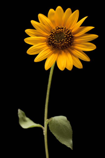 ひまわり「Sunflower」:スマホ壁紙(18)