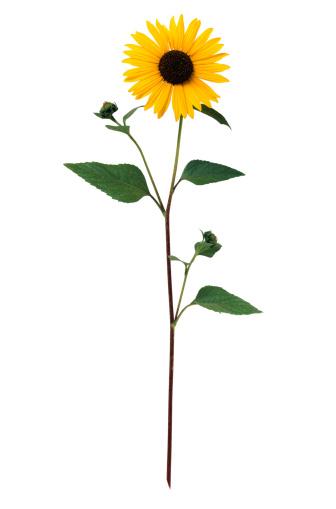 ひまわり「Sunflower」:スマホ壁紙(9)