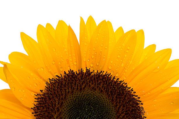 sunflower:スマホ壁紙(壁紙.com)