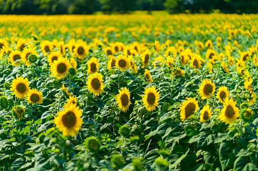 ひまわり「Sunflower plantation, Indre-et-Loire Department, The Loire Valley, France, Europe」:スマホ壁紙(11)