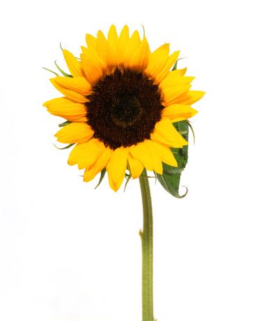 Sunflower「Sunflower」:スマホ壁紙(8)