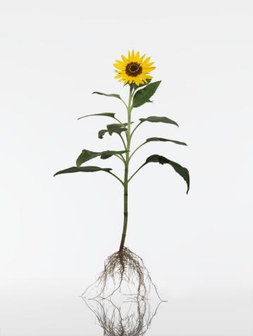 ひまわり「Sunflower (Helianthus annuus) plant, close-up」:スマホ壁紙(5)