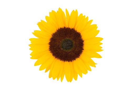 Life Cycle「sunflower」:スマホ壁紙(9)