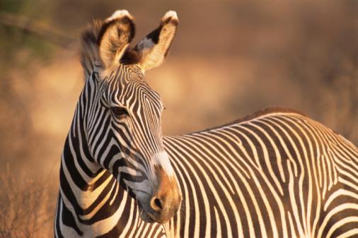 Zebra「Grevy's zebra portrait at dawn」:スマホ壁紙(18)