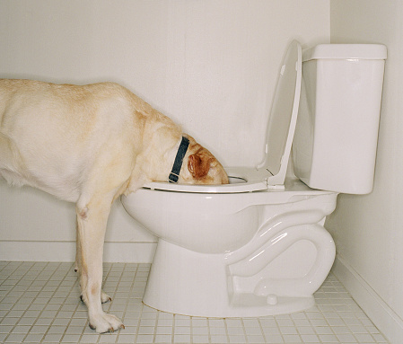Toilet「Dog drinking out of toilet」:スマホ壁紙(3)