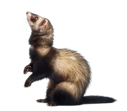 Belgium「Ferret standing on hind legs and looking up」:スマホ壁紙(19)