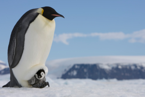 Snow Hill Island「Antarctica, Snow Hill Island, emperor penguin with chick on ice」:スマホ壁紙(8)