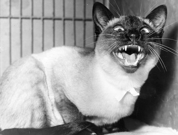 Animal Themes「Vicious Kitty」:写真・画像(0)[壁紙.com]
