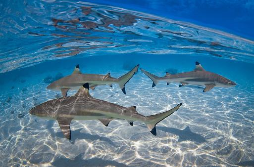 Blacktip Shark「Blacktip shark (Carcharhinus limbatus) - French Polynesia」:スマホ壁紙(12)