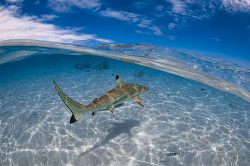 Blacktip Shark「Blacktip shark (Carcharhinus limbatus) - French Polynesia」:スマホ壁紙(17)