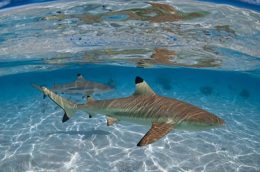 Blacktip Shark「Blacktip shark (Carcharhinus limbatus) - French Polynesia」:スマホ壁紙(16)