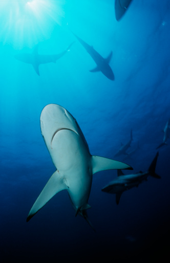 Blacktip Shark「Blacktip sharks (carcharhinus limbatus),  underwater view」:スマホ壁紙(14)