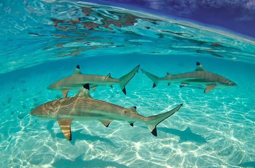 French Overseas Territory「Blacktip shark (Carcharhinus limbatus)」:スマホ壁紙(7)