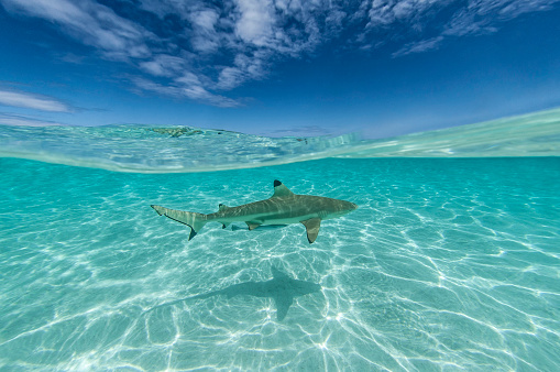 Desert Island「Blacktip shark (Carcharhinus limbatus)」:スマホ壁紙(6)